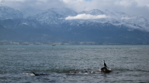 Seals frolicking in the water at Kaikoura